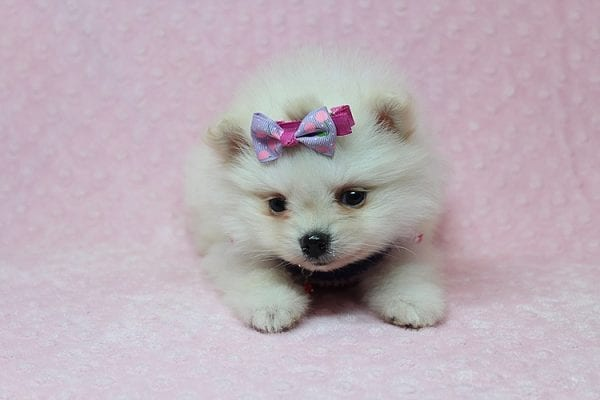 BFF - Tiny Teacup Pomeranian Found Her New Loving Home With Tessa From Beverly Hills CA 90210-26153