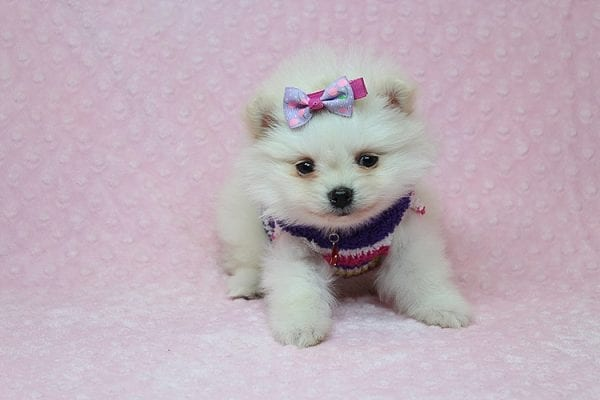 BFF - Tiny Teacup Pomeranian Found Her New Loving Home With Tessa From Beverly Hills CA 90210-26154