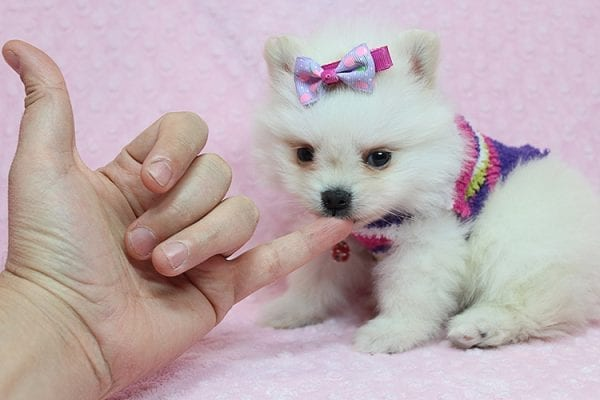 BFF - Tiny Teacup Pomeranian Found Her New Loving Home With Tessa From Beverly Hills CA 90210-26156
