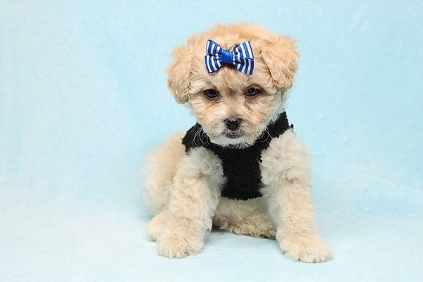 Blitzen - Toy Poodle Puppy Found His good Loving Home With Eun S. In Chino Hills Ca, 91709-26529