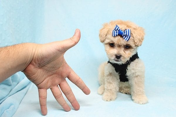 Blitzen - Toy Poodle Puppy Found His good Loving Home With Eun S. In Chino Hills Ca, 91709-26537