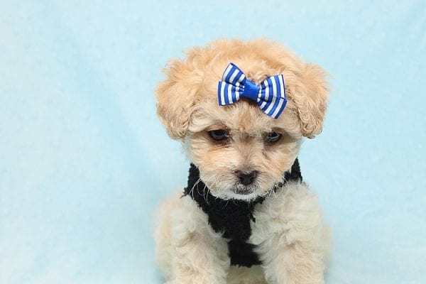 Blitzen - Toy Poodle Puppy Found His good Loving Home With Eun S. In Chino Hills Ca, 91709-26538