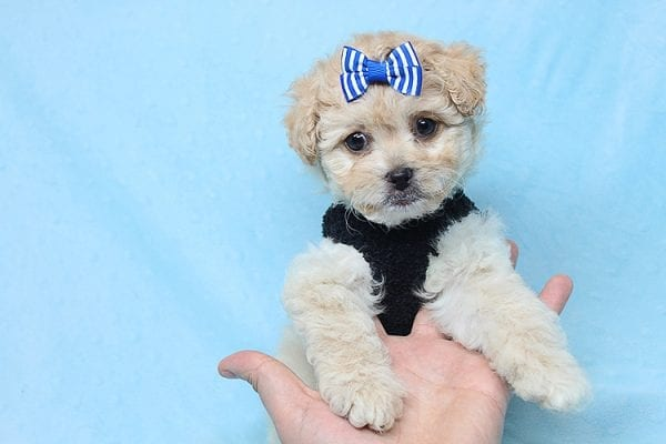 Blitzen - Toy Poodle Puppy Found His good Loving Home With Eun S. In Chino Hills Ca, 91709-26540