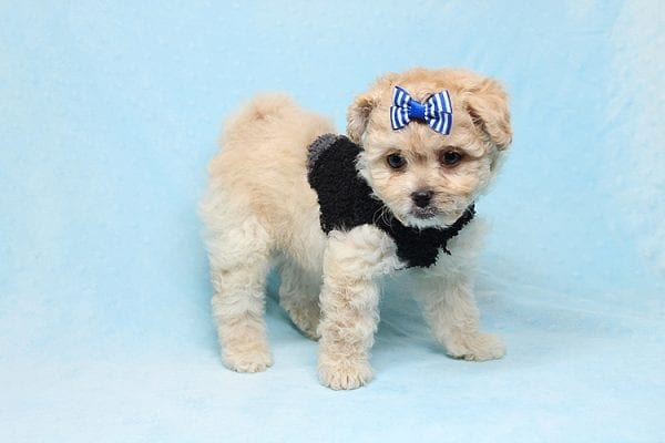 Blitzen - Toy Poodle Puppy Found His good Loving Home With Eun S. In Chino Hills Ca, 91709-26541