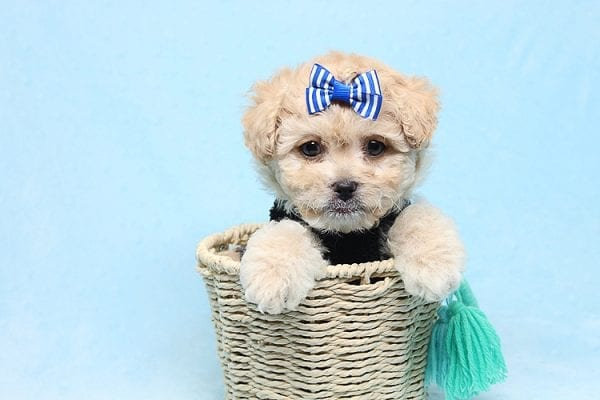 Blitzen - Toy Poodle Puppy Found His good Loving Home With Eun S. In Chino Hills Ca, 91709-26543