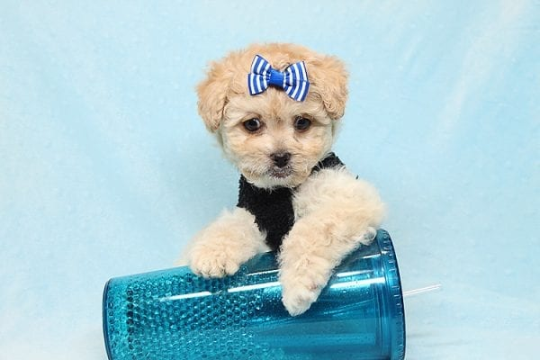 Blitzen - Toy Poodle Puppy Found His good Loving Home With Eun S. In Chino Hills Ca, 91709-26534