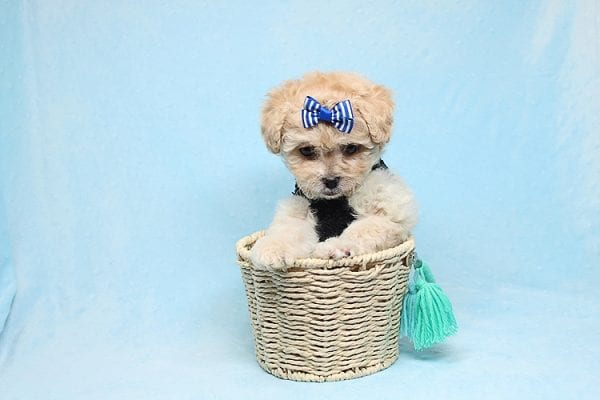 Blitzen - Toy Poodle Puppy Found His good Loving Home With Eun S. In Chino Hills Ca, 91709-26535