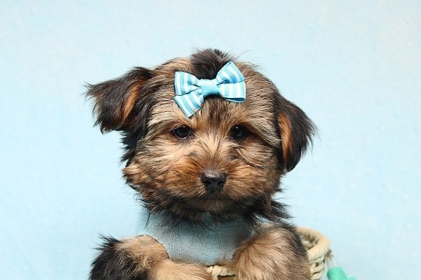 Brad Pitt - Teacup Yorkie Puppy Found his New Loving Home With Jessica from Redondo Beach CA 90277-26170