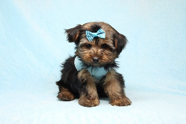 Brad Pitt - Teacup Yorkie Puppy Found his New Loving Home With Jessica from Redondo Beach CA 90277-26178