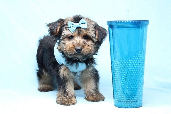 Brad Pitt - Teacup Yorkie Puppy Found his New Loving Home With Jessica from Redondo Beach CA 90277-26176