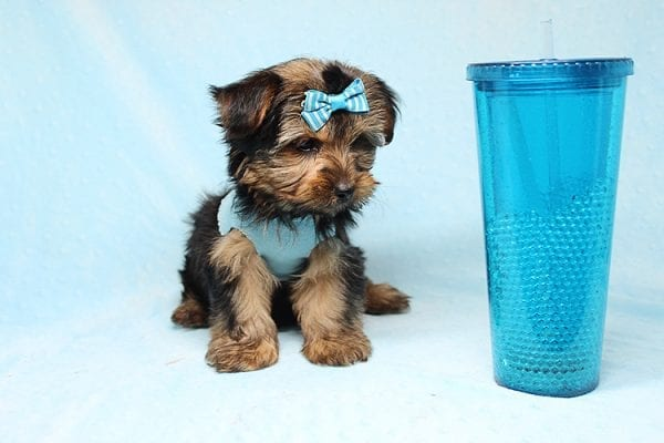 Brad Pitt - Teacup Yorkie Puppy Found his New Loving Home With Jessica from Redondo Beach CA 90277-26177