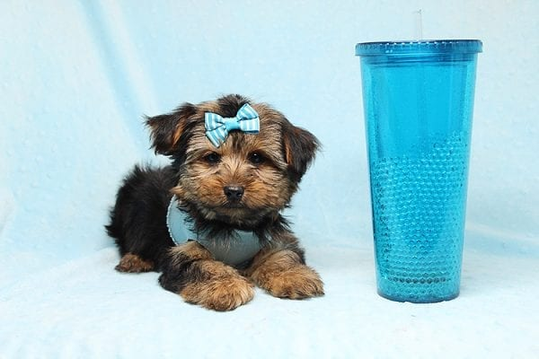 Brad Pitt - Teacup Yorkie Puppy Found his New Loving Home With Jessica from Redondo Beach CA 90277-26179