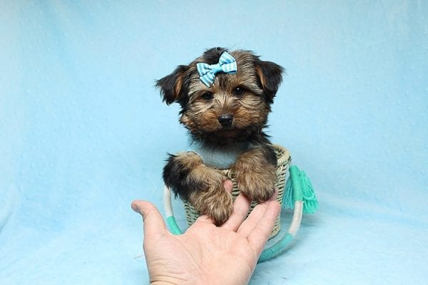 Brad Pitt - Teacup Yorkie Puppy Found his New Loving Home With Jessica from Redondo Beach CA 90277-26171