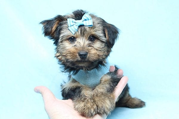 Brad Pitt - Teacup Yorkie Puppy Found his New Loving Home With Jessica from Redondo Beach CA 90277-26173