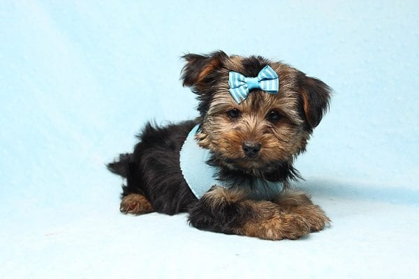 Brad Pitt - Teacup Yorkie Puppy Found his New Loving Home With Jessica from Redondo Beach CA 90277-26174