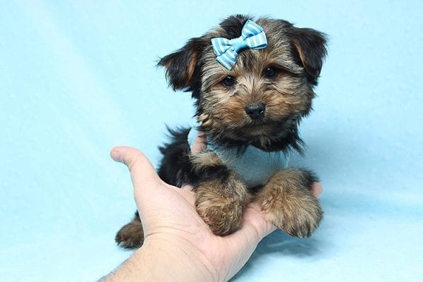 Brad Pitt - Teacup Yorkie Puppy Found his New Loving Home With Jessica from Redondo Beach CA 90277-26175