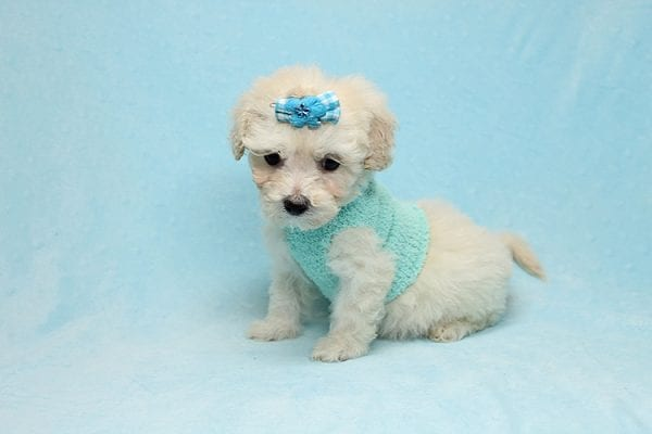 Christmas Present - Toy Maltipoo Found His New Loving Home with Mouro From Baldwin Park CA 91706-26553