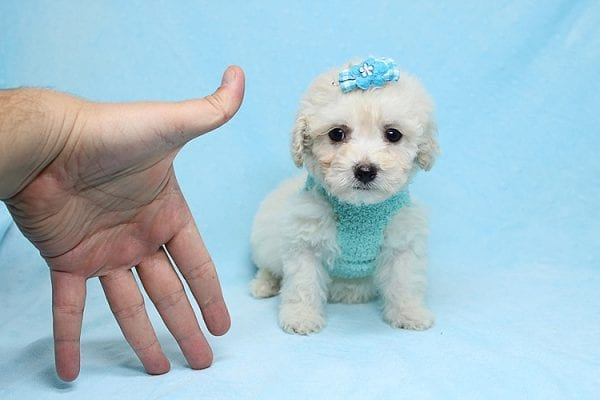 Christmas Present - Toy Maltipoo Found His New Loving Home with Mouro From Baldwin Park CA 91706-26560