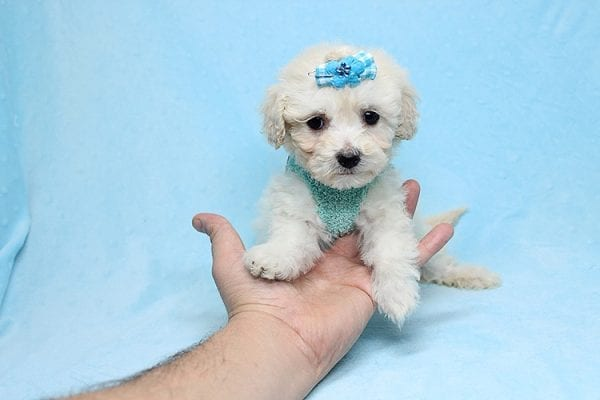 Christmas Present - Toy Maltipoo Found His New Loving Home with Mouro From Baldwin Park CA 91706-26554