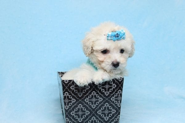 Christmas Present - Toy Maltipoo Found His New Loving Home with Mouro From Baldwin Park CA 91706-26555