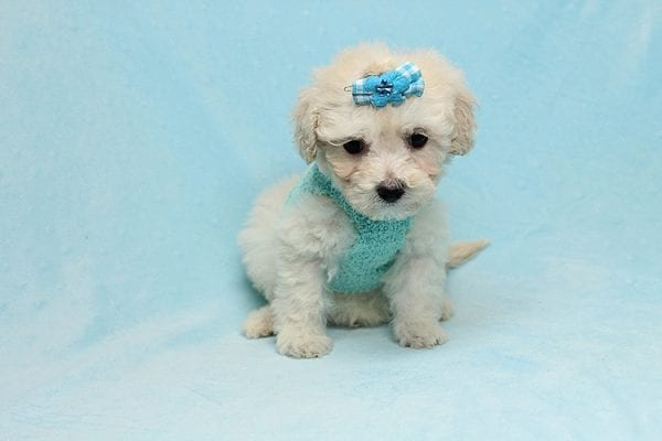 Christmas Present - Toy Maltipoo Found His New Loving Home with Mouro From Baldwin Park CA 91706-26556
