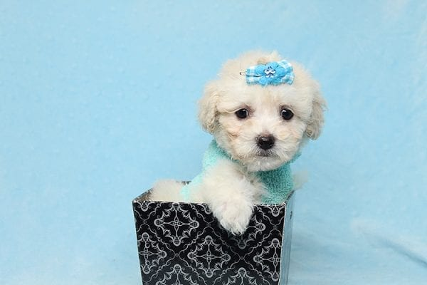 Christmas Present - Toy Maltipoo Found His New Loving Home with Mouro From Baldwin Park CA 91706-26557