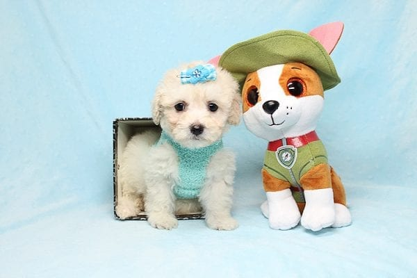 Christmas Present - Toy Maltipoo Found His New Loving Home with Mouro From Baldwin Park CA 91706-0