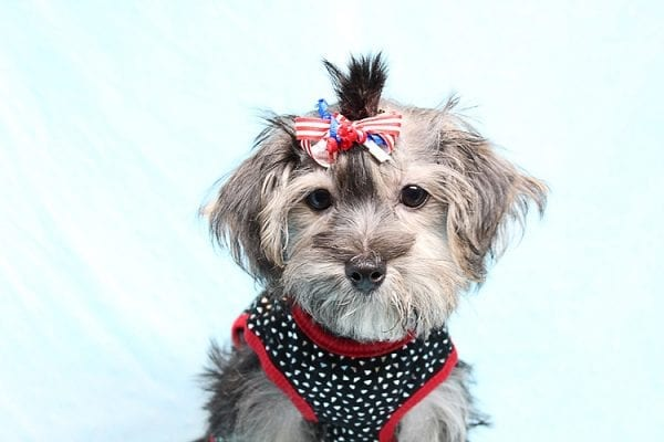 Dominos - Toy Morkie Puppy has found a good loving home with Jon from Las Vegas, NV 89141.-27180