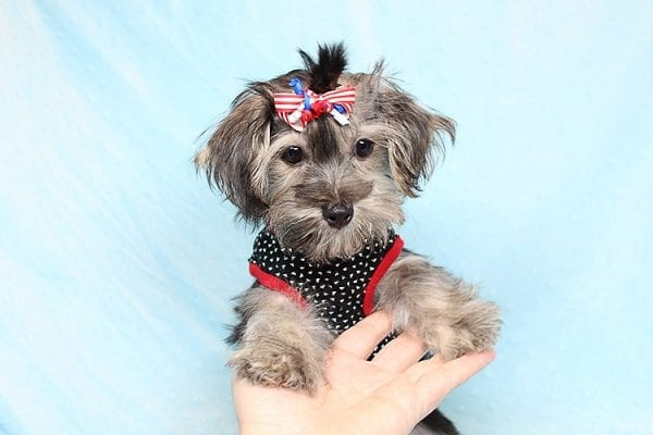 Dominos - Toy Morkie Puppy has found a good loving home with Jon from Las Vegas, NV 89141.-0
