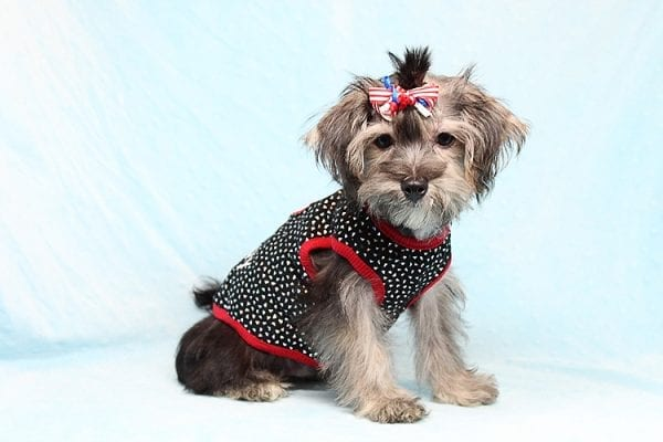 Dominos - Toy Morkie Puppy has found a good loving home with Jon from Las Vegas, NV 89141.-27182