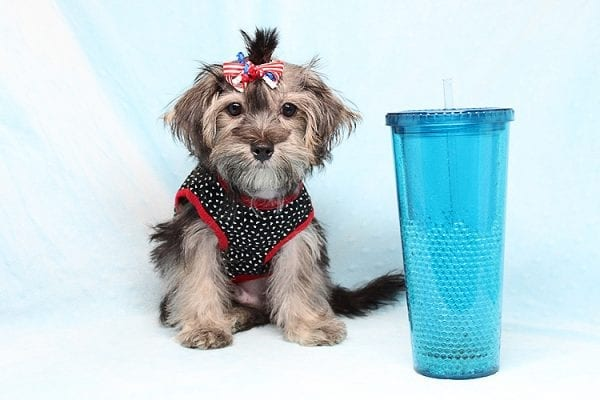 Dominos - Toy Morkie Puppy has found a good loving home with Jon from Las Vegas, NV 89141.-27185
