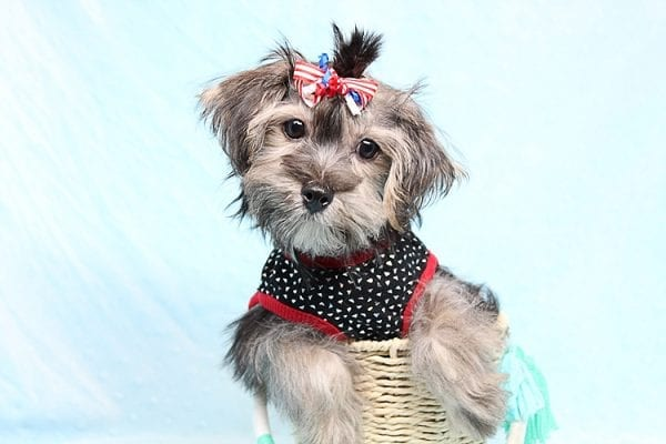 Dominos - Toy Morkie Puppy has found a good loving home with Jon from Las Vegas, NV 89141.-27183