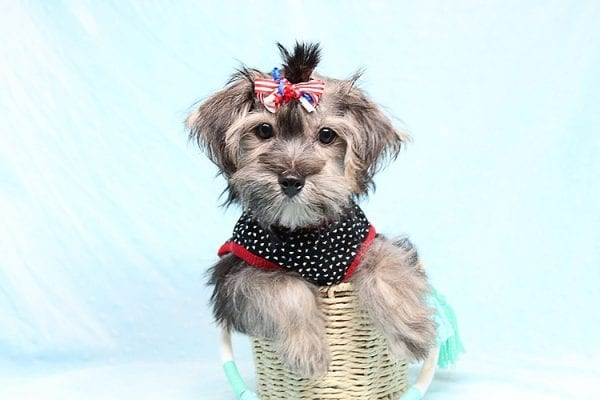 Dominos - Toy Morkie Puppy has found a good loving home with Jon from Las Vegas, NV 89141.-27187