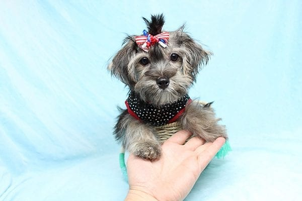 Dominos - Toy Morkie Puppy has found a good loving home with Jon from Las Vegas, NV 89141.-27186