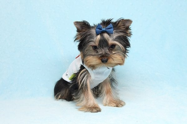 Face Licker - Micro Teacup Yorkie Puppy has found a good loving home with Debbie from Tucson AZ 85739-0