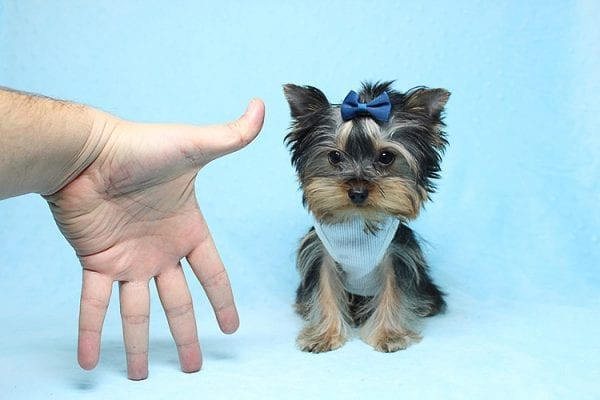 Face Licker - Micro Teacup Yorkie Puppy has found a good loving home with Debbie from Tucson AZ 85739-26501
