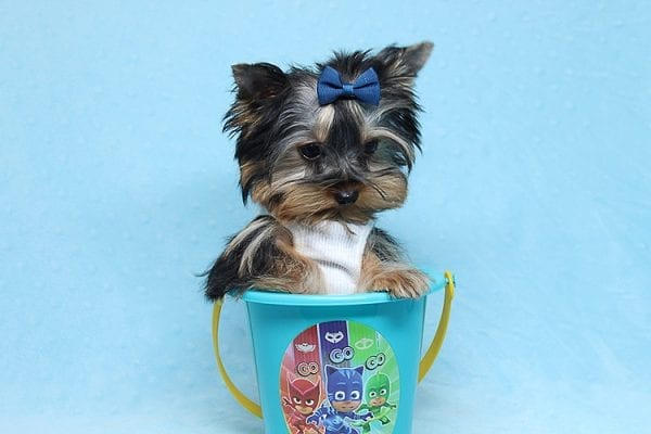 Face Licker - Micro Teacup Yorkie Puppy has found a good loving home with Debbie from Tucson AZ 85739-26502