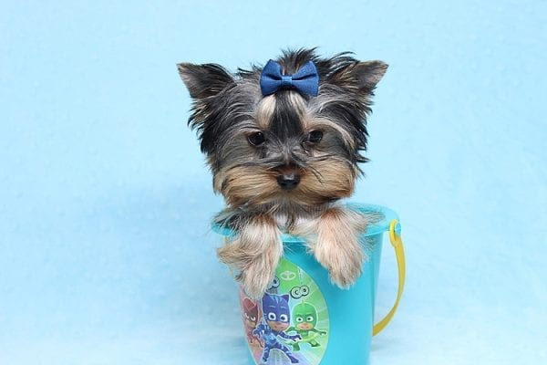 Face Licker - Micro Teacup Yorkie Puppy has found a good loving home with Debbie from Tucson AZ 85739-26504