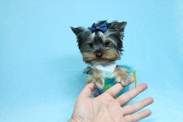 Face Licker - Micro Teacup Yorkie Puppy has found a good loving home with Debbie from Tucson AZ 85739-26505