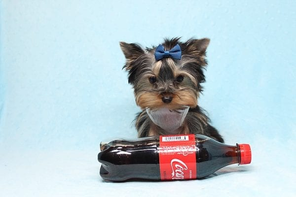 Face Licker - Micro Teacup Yorkie Puppy has found a good loving home with Debbie from Tucson AZ 85739-26494