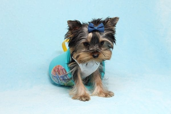 Face Licker - Micro Teacup Yorkie Puppy has found a good loving home with Debbie from Tucson AZ 85739-26506