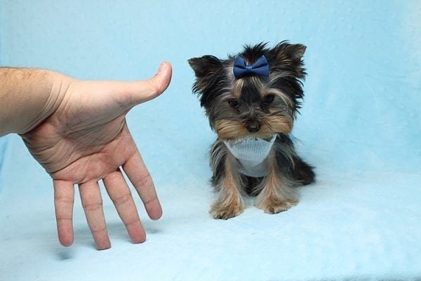 Face Licker - Micro Teacup Yorkie Puppy has found a good loving home with Debbie from Tucson AZ 85739-26493