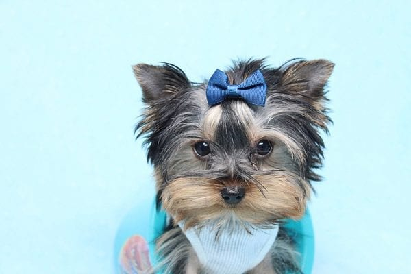 Face Licker - Micro Teacup Yorkie Puppy has found a good loving home with Debbie from Tucson AZ 85739-26496