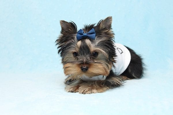 Face Licker - Micro Teacup Yorkie Puppy has found a good loving home with Debbie from Tucson AZ 85739-26495