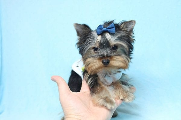 Face Licker - Micro Teacup Yorkie Puppy has found a good loving home with Debbie from Tucson AZ 85739-26497