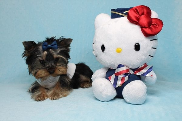 Face Licker - Micro Teacup Yorkie Puppy has found a good loving home with Debbie from Tucson AZ 85739-26498