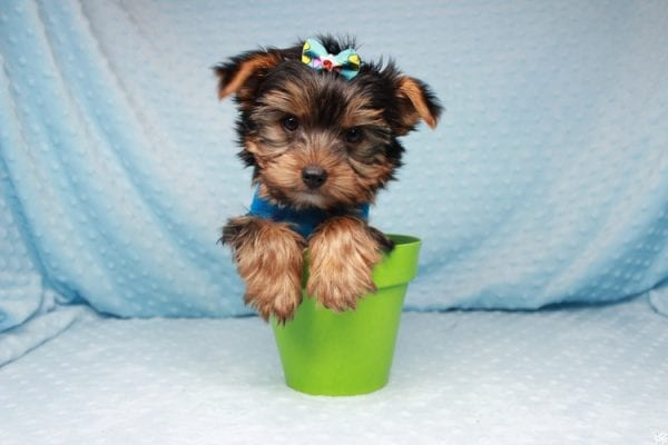 Facebook - Teacup Yorkie Puppy has found a good loving home with Barbara in Las Vegas, NV 89143.-26096