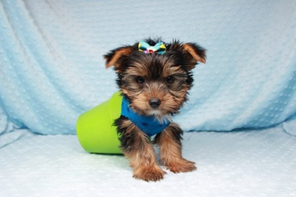 Facebook - Teacup Yorkie Puppy has found a good loving home with Barbara in Las Vegas, NV 89143.-26097