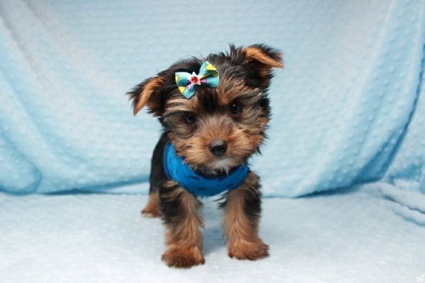 Facebook - Teacup Yorkie Puppy has found a good loving home with Barbara in Las Vegas, NV 89143.-26095