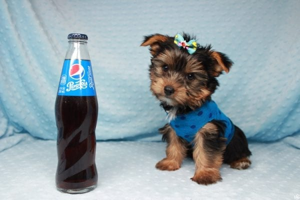 Facebook - Teacup Yorkie Puppy has found a good loving home with Barbara in Las Vegas, NV 89143.-0
